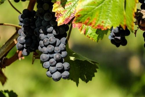 Самый сладкий день. Любителей винограда ждёт красивый праздник